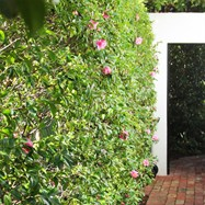 Simple Camellia hedge with rustic brick path